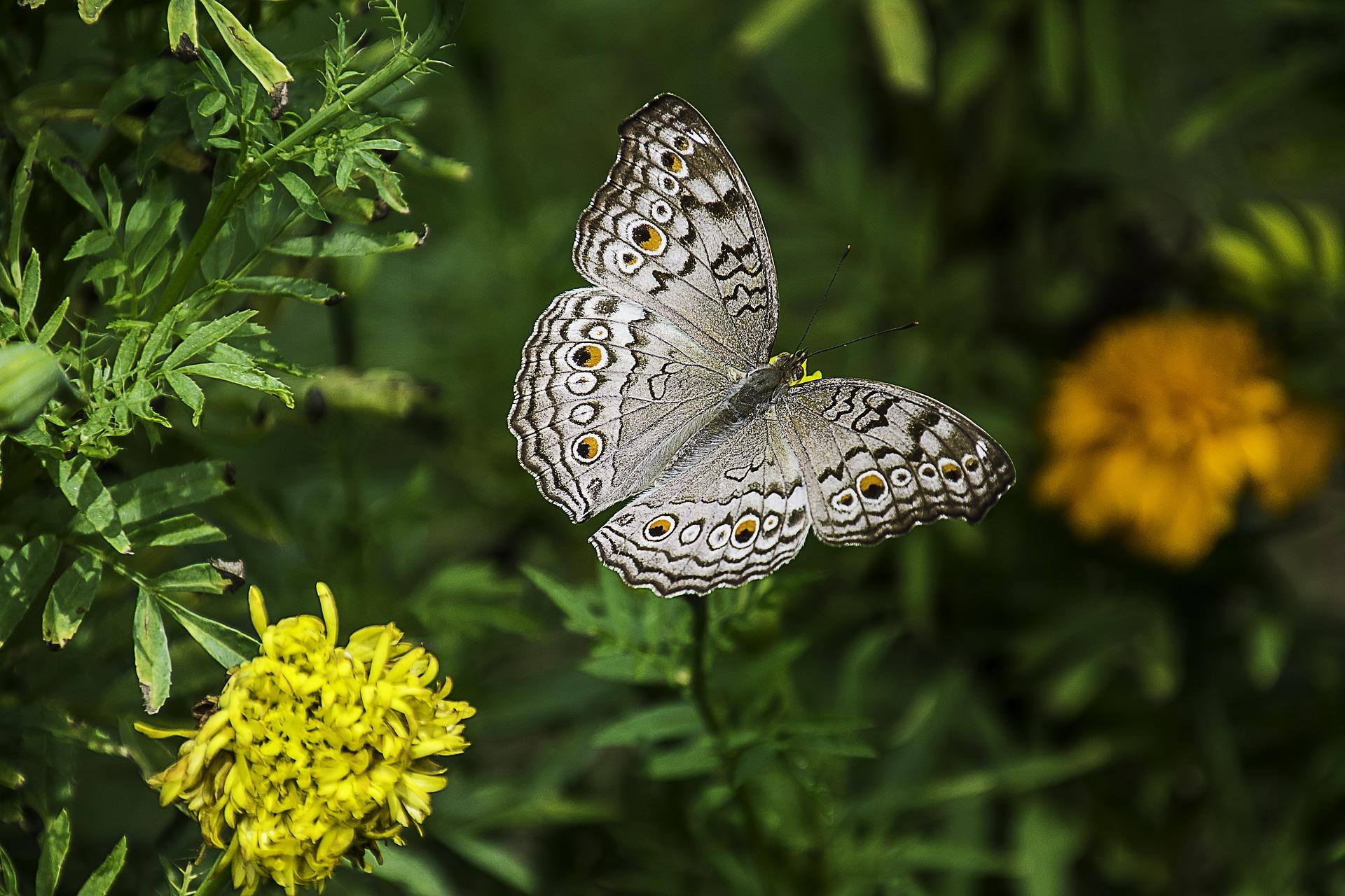 butterfly-natcheztraceparkway