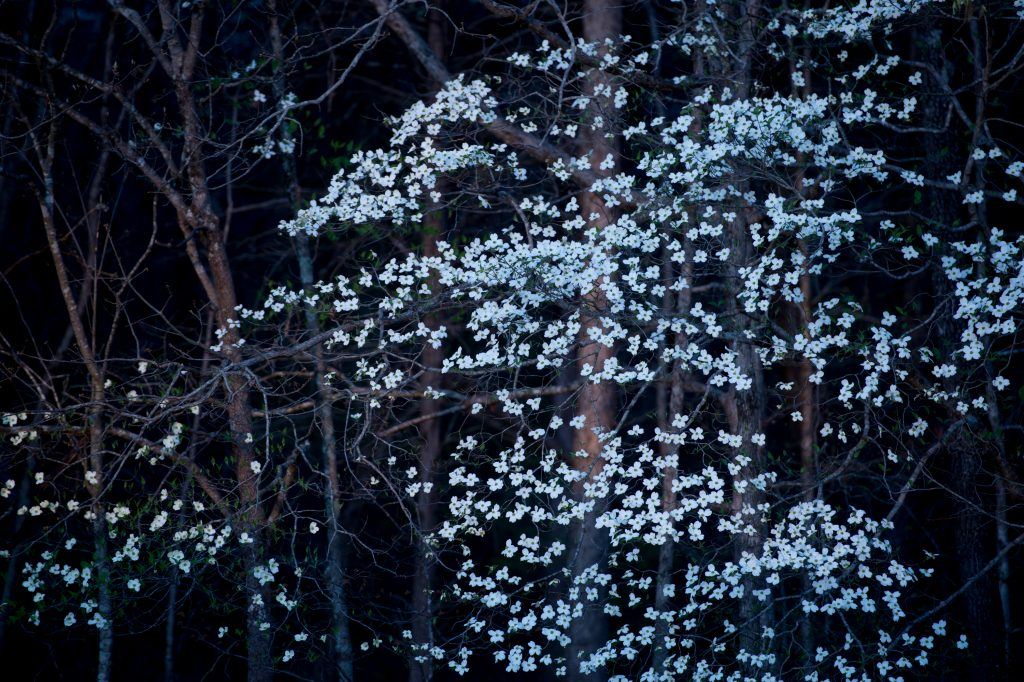 Dogwood blooms along the Natchez Trace Parkway